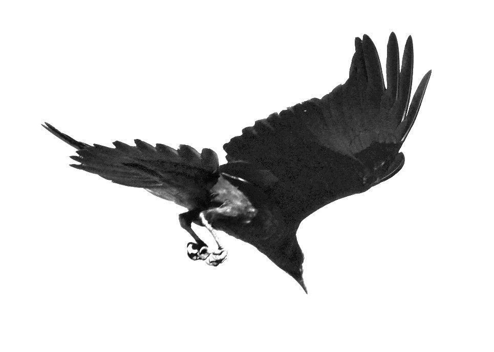 raven-dive-1.jpg